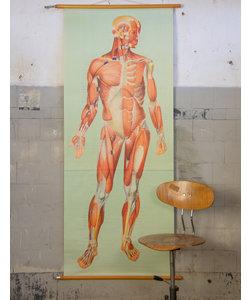 Anatomische schoolplaat 'Spierstelsel'