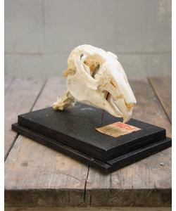 Opgezet skelet 'Bever'