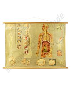 Anatomische schoolplaat 'Zenuwstelsel'