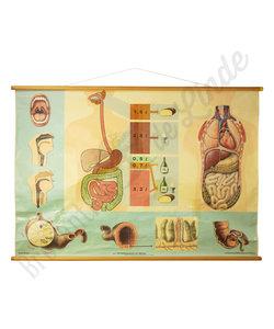 Anatomische schoolplaat 'Spijsvertering'