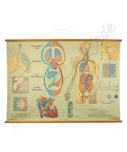 Anatomische schoolplaat 'Bloedvaten' No. 1