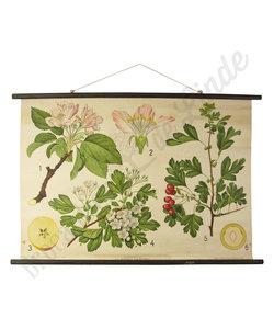 Botanische schoolplaat 'Appelboom & Meidoorn'