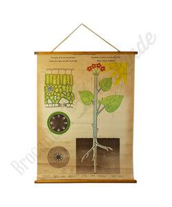 Botanische schoolplaat - Groei plant