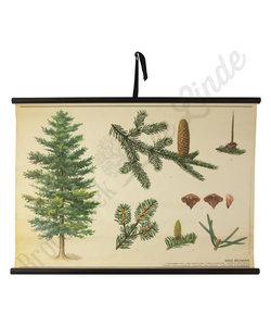 Botanische schoolplaat Dennenboom