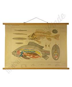 Zoölogische bijplaat:  'Zoetwatervissen'