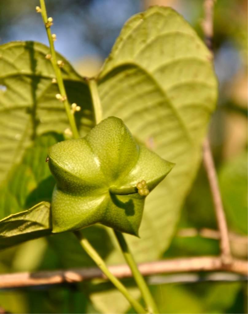 Poudre d'Sacha Inchi bio, 200 g