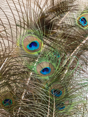 Peacock feathers | 10 pieces