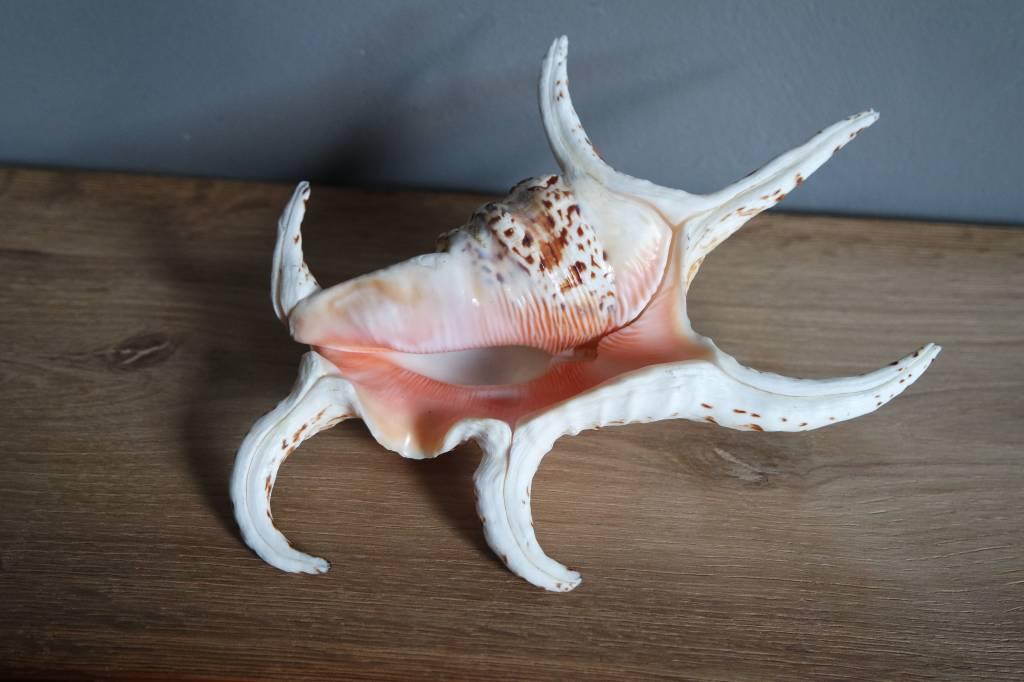 Lambis schelp