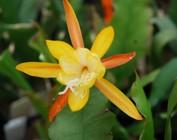 Disophyllum-Hybr.