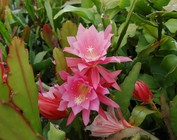 Epiphyllum-Hybr