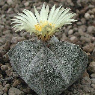 Astrophytum myriostigma cv. Quadricostata