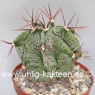 Astrophytum ornatum-Hybr.