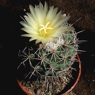 Coryphantha durangensis  SB 453