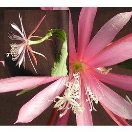 Disophyllum-Hybr. Frühlingstraum