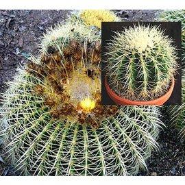 Echinocactus grusonii  `Goldkugelkaktus` Schwiegermutter-Stuhl`, Mexiko,