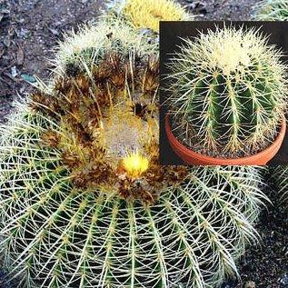 Echinocactus grusonii Goldkugelkaktus  Schwiegermutter-Stuhl, Mexiko,