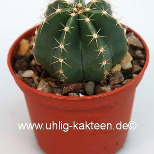 Echinocereus subinermis  v. luteus