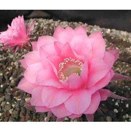 Echinopsis-Hybr. `Attila` Rheingold 283