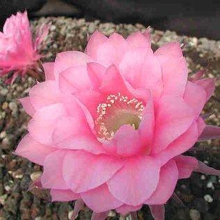 Echinopsis-Hybr. Attila Rheingold 283