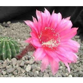 Echinopsis-Hybr. Burgund Rheingold 250