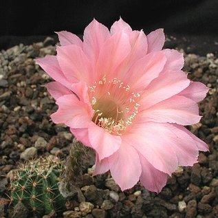 Echinopsis-Hybr. Sunset Serie 390
