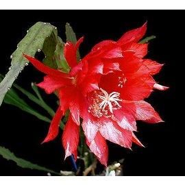 Epiphyllum-Hybr. Bob Grimshaw