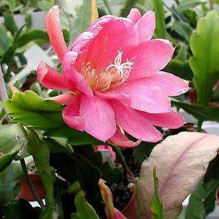 Epiphyllum-Hybr. Jungfrau