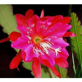 Epiphyllum-Hybr. Madagascar