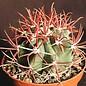 Ferocactus chrysacanthus f. rubrispinus