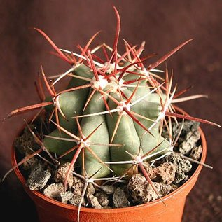 Ferocactus townsendianus   km 169, Microonda El Torete