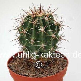 Ferocactus townsendianus   km 36, Microonda Matape