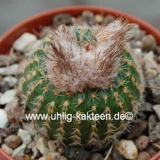 Frailea pygmaea v. curvispina FS 004