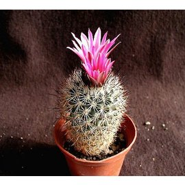 Gymnocactus beguinii      CITES, not outside EU