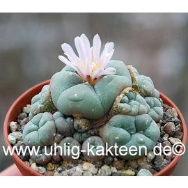Lophophora williamsii f. caespitosa disponible bajo petición