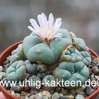Lophophora williamsii  f. caespitosa