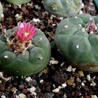 Lophophora williamsii  v. jourdaniana