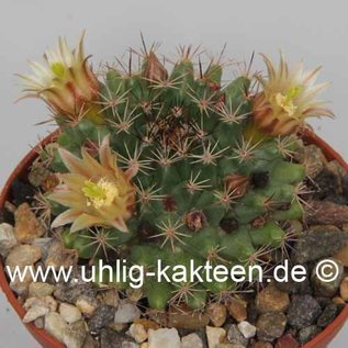 Mammillaria glareosa   BC