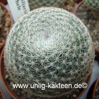Mammillaria microthele