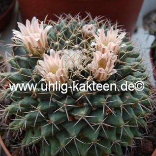 Mammillaria spec. Fre 1188 roseoalba ?