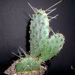 Opuntia phaeacantha  v. longispina     (dw)