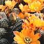 Rebutia knizei   Pazna-Bolivien (syn. Digitorebutia, R. pygmaea)