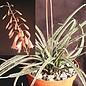 Aloe bellatula      CITES, not outside EU