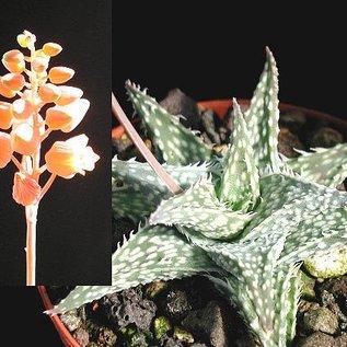 Aloe descoingsii   v. angustina Tulear   CITES, not outside EU