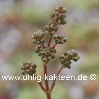Crassula orbicularis