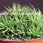 Haworthia chloracantha  v. denticulifera Maaselbaii