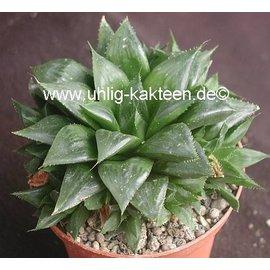 Haworthia fouchii