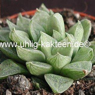 Haworthia turgida v. pallidifolia