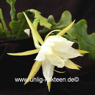 Epiphyllum darrahii