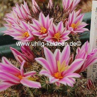 Mammillaria blossfeldiana   Baja California, Guadalupe und Cedros Islands, Mx
