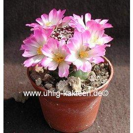 Mammillaria luethyi puffed.
